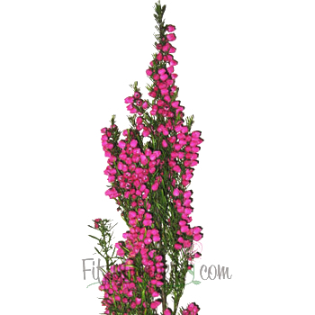 Boronia Heather Flower Bright Pink