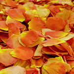 Vavoom Light Orange Rose Petals