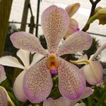 Speckled Violet Mokara Orchid