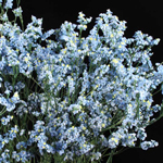 Blue Powder Tinted Limonium Flower