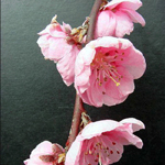 Hot Pink Prunus Blooming Branches