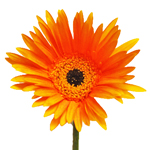 Light Orange Tinted Gerbera Daisies