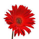Red Tinted Gerber Daisy Flower