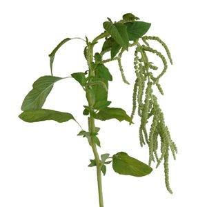 Green Hanging Amaranthus Bulk Fall Greens