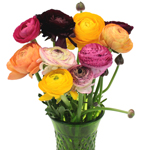Assorted Colors Ranunculus Flower September to May 15th Delivery