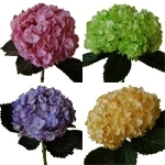 Hydrangea Assorted Tinted Flower