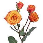 Bicolor Yellow and Orange Spray Roses
