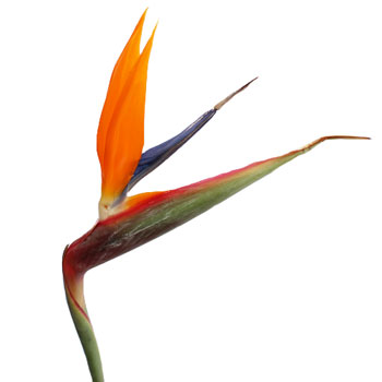 Picture Bird Paradise Flower on Birds Of Paradise Tropical Flower Birds Of Paradise Are The Most