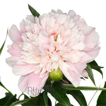 Blush Peonies Flower June Delivery