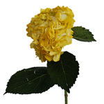 Bronze Yellow Enhanced Hydrangea Flower