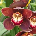 Cymbidium Orchids Brown Wine