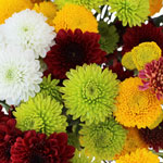 Fall Mini Button Pom Assorted Colors Flower