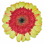 Cream with Hot Pink Red Gerber Daisy