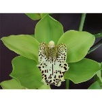 Cymbidium Orchids Green with Brown Spotted Lip