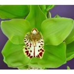 Cymbidium Orchids Green with Burgundy Spotted Lip