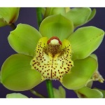 Cymbidium Orchids Green with Yellow Spotted Lip