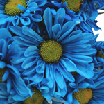 Blue Bulk Daisy Flower