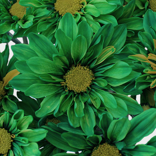 Tinted Green Daisy Flower