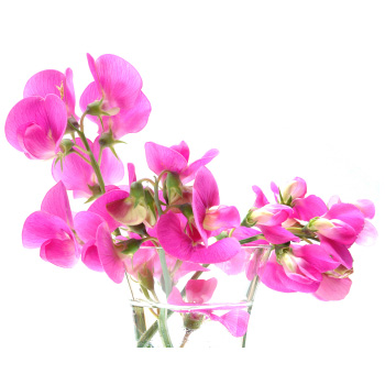 Sweet Peas Dark Pink Flower