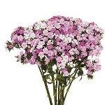 Pink Dianthus Flower
