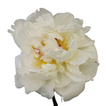 White Peony Flower August Delivery