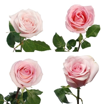Valentines Light Pink Rose Special