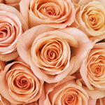 Honey Bella Peach Rose