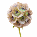 Scabiosa Pods Green Filler Flower