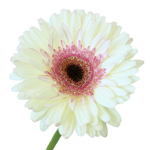 White and Pink Gerber Daisy Flower