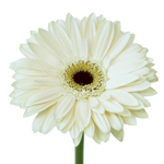 Off White Gerbera Daisy Flower