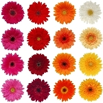 Novelty Gerberas Farm Mix Flower