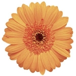 Mini Gerbera Peach Daisy Flowers