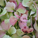 Giant Hydrangea Light Antique Flower