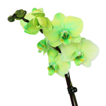 Orchid Centerpiece Plant Gemstone Green