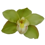 Cymbidium Orchids Green Overnight