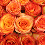 High and Magic Yellow and Red Rose