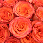 High and Orange Magic Rose