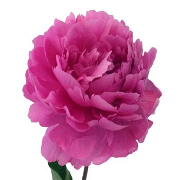 Peony Flowers Hot Pink November Delivery