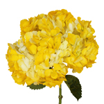 Hydrangea Yellow Spray Tinted