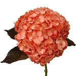 Salmon Peach Tinted Hydrangea Flower