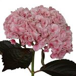 Light Pink Tinted Hydrangea Flower