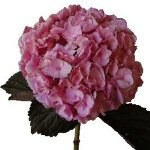 Hydrangea Hot Pink Tinted Flower