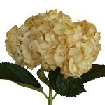 Pale Yellow Bronze Tinted Hydrangea Flower