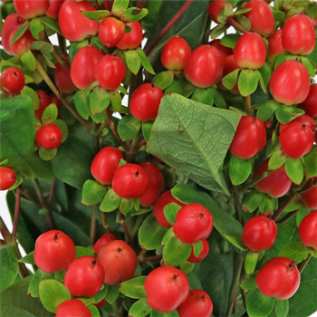 Red Hypericum Berries Flower