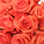 Impulse Coral Orange Roses