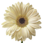 Ivory Hint of Blush Gerbera Daisy