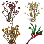 Kangaroo Paw Flower Assorted Colors