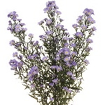 Aster Flowers Lavender