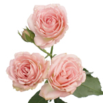 Classic Pink Spray Garden Roses