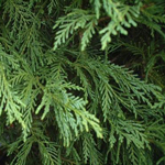 Leyland Cedar Christmas Green Filler Flower